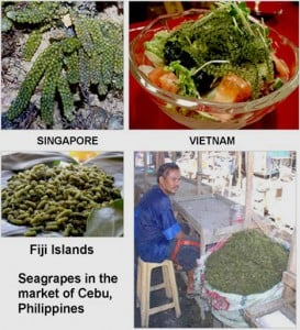 Eurocosmetics FIg 6 Seagrapes from around the globe SCI 273x300 Searching for seagrape seaweed in Indian waters: a nun scientist's tale of passion and perseverance